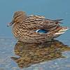Mallard Duck (Female) Anas platyrhynchos.