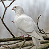 Feral White Rock Dove (Columba livia)