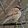 House Sparrow, (Male) Passer domesticus.