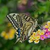 Common Swallowtail, Papilio machaon