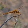 Crocothemis erythraea, (Female) Scarlet-darter or broad scarlet.
