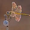 Sympetrum fonscolombii,