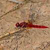 Crocothemis erythraea, (Male) Scarlet-darter or broad scarlet.