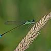 Damselfly, Ischnura elegans
