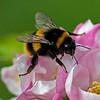 Bombus pratorum, (Early Bumblebee) Queen.