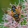 Hoverfly, Eristalis pertinax. (male)