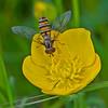 Hoverfly: Episyrphus balteatus
