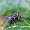 Bluebottle, Calliphora vomitoria