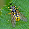 Hoverfly, Chrysotoxum cautum (Female)