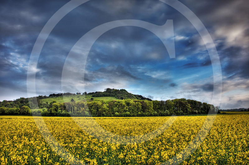 Rapeseed Fields of England