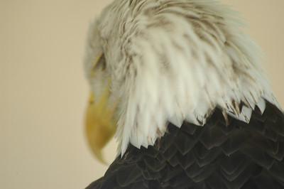 Eagle Head. Matt Keffer of sketch studio. downtown gallery.