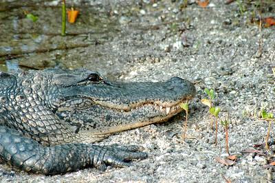 Alligator photographed by Matt Keffer on the island of Sanibel
