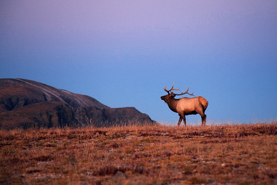 """""""Majestic""""  Rocky Mountain National Park, CO  This majestic elk was passing by as I drove through the Trail Ridge Road in Rocky Mountain National Park.  As I approached him to get a picture he turned and stared right into my eyes.  I was forzen there until he finally looked away and I was able to take my picture. Technical Details: Shot with a Canon 5dMk2 and 28-135mm lens."""