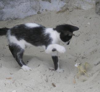 Crabby Kitty - Jamaica
