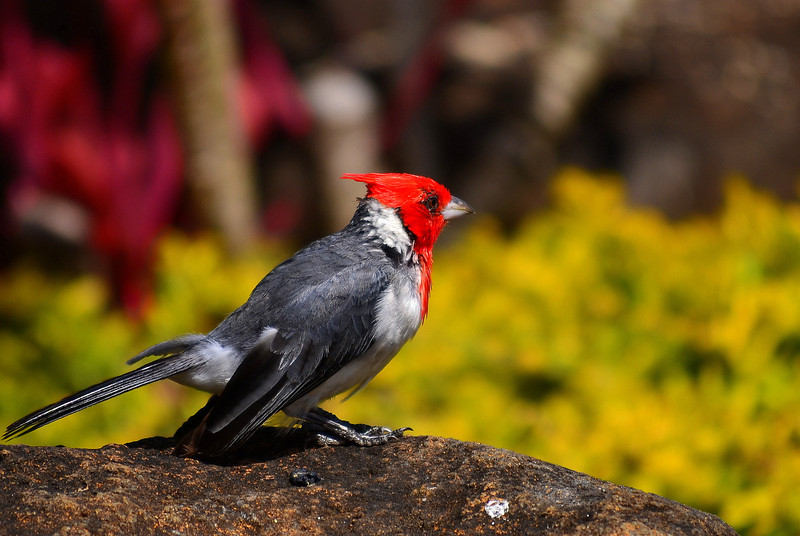 """Entered Nov 2012; no prize """"Red Crested Cardinal"""""""