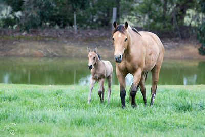 2006 Buckskin mare.  Sire Commanchie Shorty Dam Docs Mudslide Sally  Dam of two outstanding buckskin fillies, being retained. Shorty was a successful cutting mare with $2800 LTE before starting her campdraft career. Unfortunately she sustained an injury to her stifle and can no longer be ridden. She is however paddock sound and needs no special treatment. Very sweet easy mare to have around, still young with many fertile years remaining, has taken 1st time both breeds. Currently empty can sell with service to Frogman Henry IMP, full sister in photo foaled 2016.   $10000 empty or $11000 with service  Contact Kerry 0413-304990 Located Kinglake West VIC