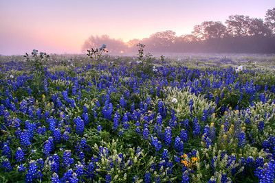 """Bluebonnets in the Fog""  Prarie Mountain, TX This field of color is located deep in Central Texas near the town of Prairie Mountain.  On this particular morning the fog lifted just enough to allow the sunrise to filter through and create some incredible pastel scenery. Technical Details: Shot with Canon 5d MK2 and Canon 24-70mm lens."