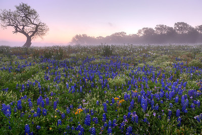 """Pastel Field of Colors""  Prairie Mountain, TX This field of color is located deep in Central Texas near the town of Prairie Mountain.  On this particular morning the fog lifted just enough to allow the sunrise to filter through and create some incredible pastel scenery. Technical Details: Shot with Canon 5d MK2 and Canon 24-70mm lens."