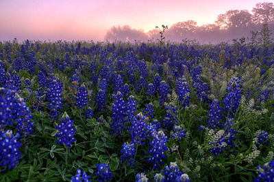 """""""Bluebonnets in the Fog""""  Prairie Mountain, TX This field of color is located deep in Central Texas near the town of Prairie Mountain.  On this particular morning the fog lifted just enough to allow the sunrise to filter through and create some incredible pastel scenery. Technical Details: Shot with Canon 5d MK2 and Canon 24-70mm lens."""