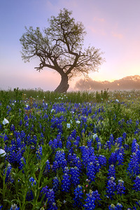 """""""The Commander""""  Prairie Mountain, TX This field of color is located deep in Central Texas near the town of Prairie Mountain.  On this particular morning the fog lifted just enough to allow the sunrise to filter through and create some incredible pastel scenery. Technical Details: Shot with Canon 5d MK2 and Canon 24-70mm lens."""