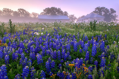 """Prairie Mountain School""  Prairie Mountain, TX This field of color is located deep in Central Texas near the town of Prairie Mountain.  On this particular morning the fog lifted just enough to allow the sunrise to filter through and create some incredible pastel scenery. Technical Details: Shot with Canon 5d MK2 and Canon 24-70mm lens."