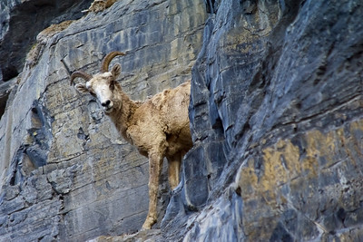 """""""Are you Looking at Me?""""  Glacier National Park, MT Technical Details: Shot with a Canon 5dMk2 and 28-135mm lens."""