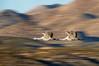 Sandhill Cranes, Bosque del Apache, New Mexico