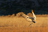 Landing Sandhill Crane, Bosque del Apache, New Mexico