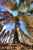 Mariposa Grove of the Giant Sequoias, Yosemite National Park, CA