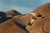 Sandhill Crane, Bosque del Apache, New Mexico