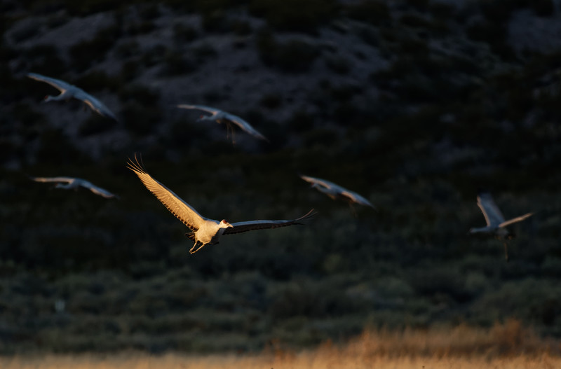 Incoming Sandhill Cranes, Bosque del Apache, New Mexico