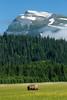 Alaskan Coastal Bears, Lake Clark, Alaska