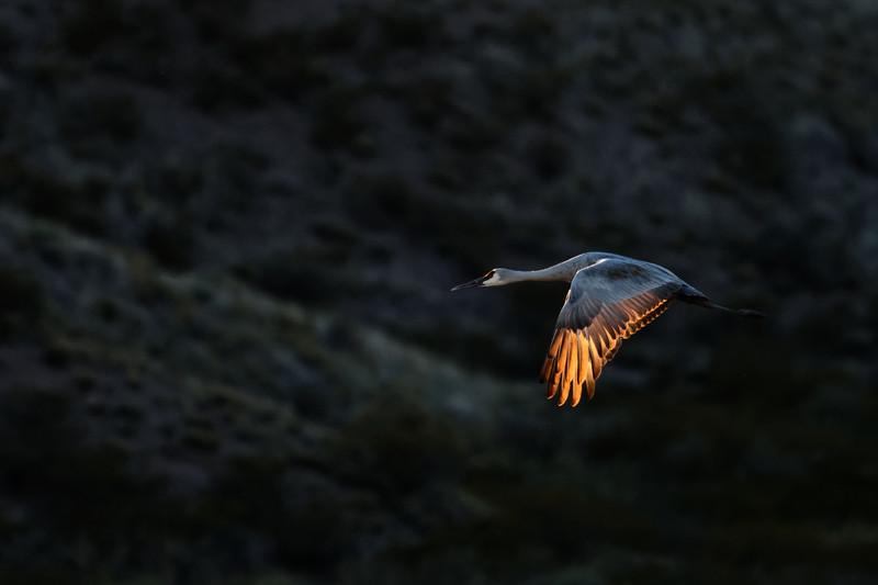 Sidelit Sandhill Crane, Bosque del Apache, New Mexico