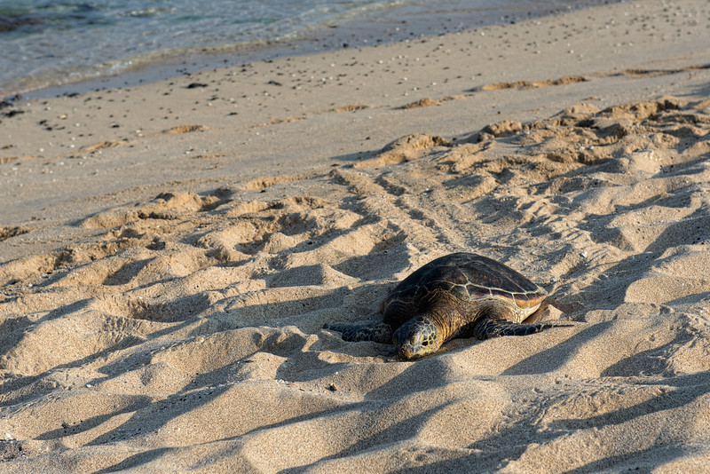 Sea turtles hang out on the beach for hours