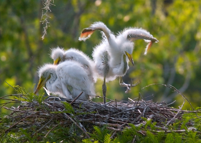 Off To College!  These are Great White Egret chicks at Magnolia Gardens Rookery (the swamp).<br /> 5/29/2006