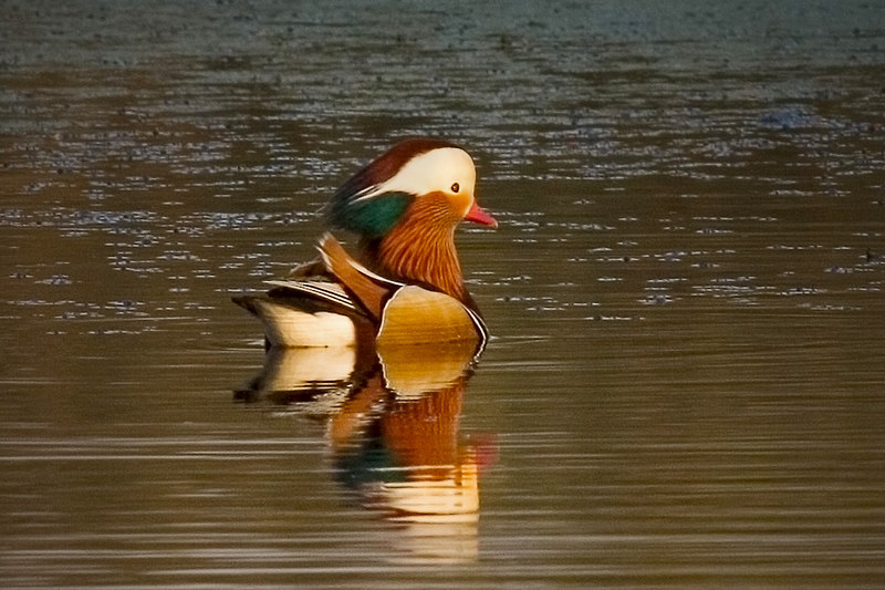 Mandarin Wood Duck