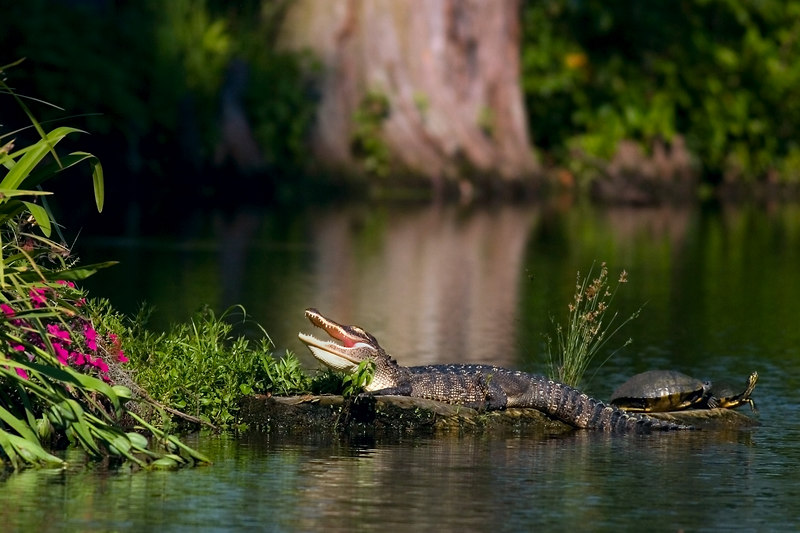 "The Gator And Two Turtles: it was a warm June day........<br /> (Rutt, and all, I did not use blur, I don't know why it looks<br /> like I did, other than that............)<br /> <br />  <a href=""http://upacreekPHOTOGRAPHY.smugmug.com/photos/76088098-L.jpg"">http://upacreekPHOTOGRAPHY.smugmug.com/photos/76088098-L.jpg</a><br /> <br /> You might want to note that photo, shows more of the whole scene.  Pretty!  Actually one of the most beautiful scenes there, IMO.  I had only seen it in the morning before.  I was dubious that it could be photographed in the afternoon with the light on the other side.  I worked with that fact in mind.  And I got ""chased"" by another gator in the process.<br /> <br /> g"