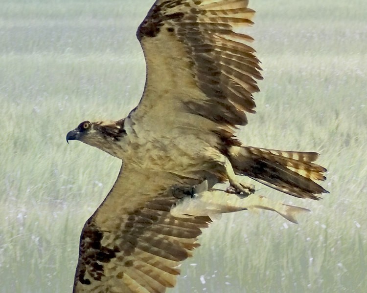 "Blended photo, Osprey w fish over marsh grass.<br /> Both photos taken 8/18/2006<br /> <br /> OK, now I know that Rutt ""improved"" this, etc.<br /> <br /> But off dGrin with my lists, this has elicited lots of good comments.<br /> It is the only composite I put in here.  I don't think most people who comment know that it is a composite, they just think the detail in the fish (really the marsh grass showing through, smile) is fantastic.<br /> For a long time I couldn't figure out what photo they were talking about."