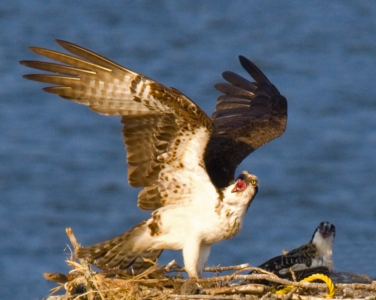 """I fed the kids, now you come home and take over!""<br /> Osprey At The Cooper River Marina last Sunday.  As you all know, I haven't had a camera since Bill took his back Monday night."