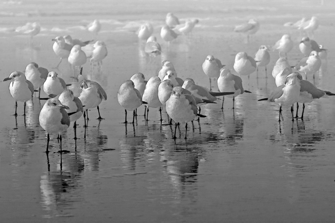 only a mother could love????  I love.???<br /> <br /> winter, beach birds, seagulls.....<br /> blk/white.  all together, reflections.<br /> <br /> and I was on my stomach in the water, just memories, smile!  Oh, very windy.  Bill and I were alone there.  Folly Beach.  It was OK in color, I liked the misty effect of the blk/white more.