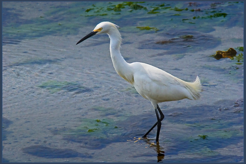 I wanted one photo that showed the feet of a Snowy.  I love their yellow feet.  These are barely noticeable under the water, but they are there.<br /> <br /> 4 yes thusie, sherstone, harry and aruba