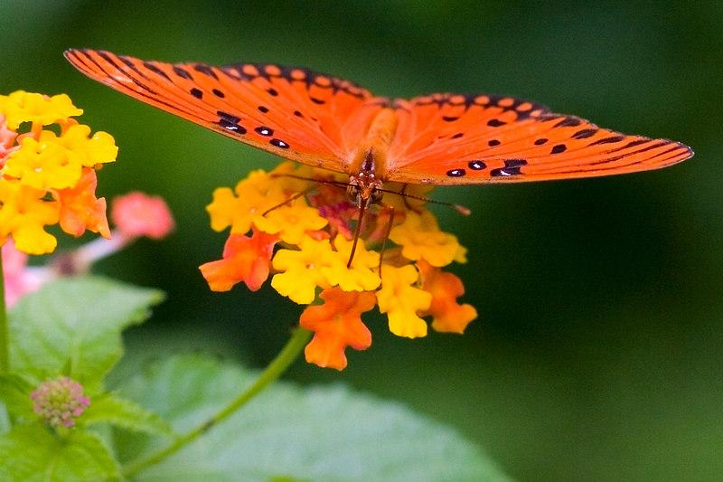 Wild Butterfly On A Flower<br /> 9/4/2006<br /> <br /> <br /> (It wasn't easy)