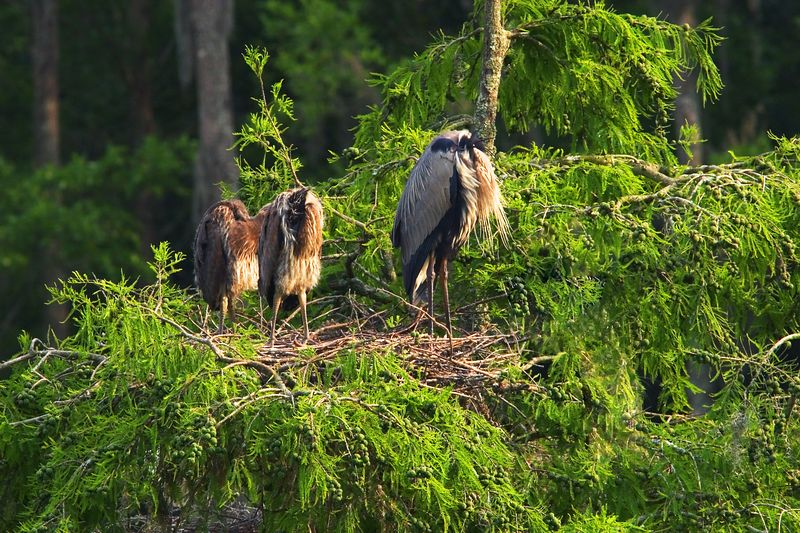 Great Blue Herons do that.  They use their wings to cover and shield their heads, probably for various reasons.  I have seen one do it for protection from the wind.  This is a parent with babies on a tree that is no longer there.  How unique is that?  And it looks nice.<br /> <br /> 2 nos, sally and aruba