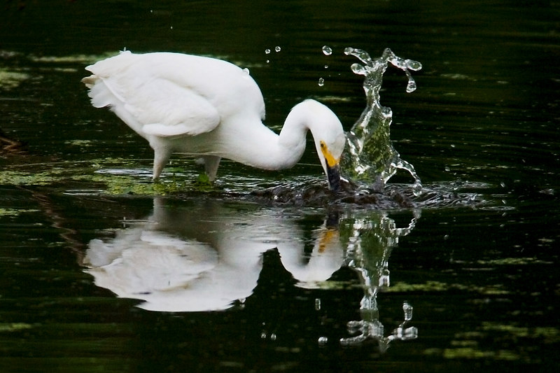 Snowy Egret (makes a splash)<br /> <br /> 2 yes (ed hughes and arubaphoto)