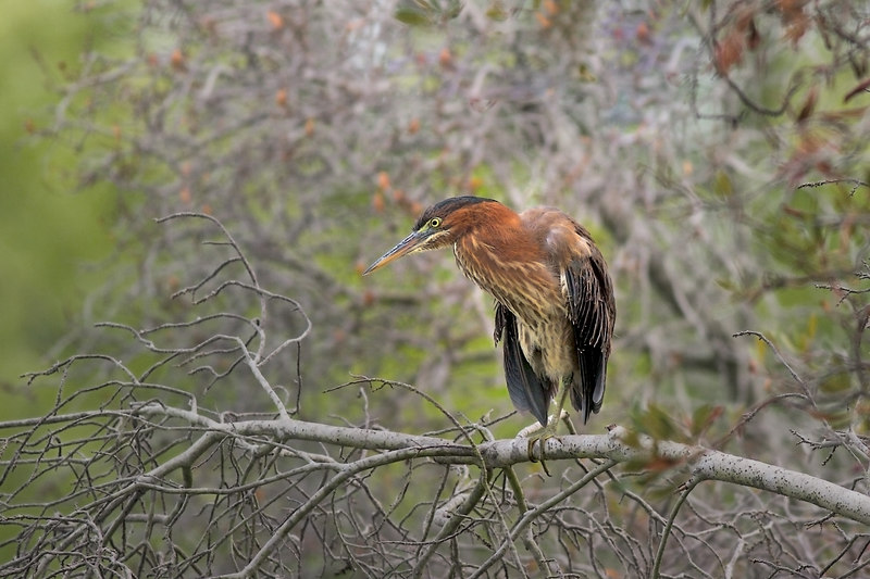 I am looking for Little Green Herons now, haven't seen any, yet.  This was last year, a little later from the looks of the tree behind him.<br /> <br /> 5 yes: sherstone, harry, aruba,john mueller<br /> <br /> Yes....Julie
