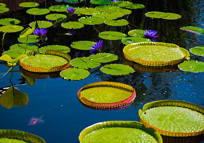 'Water Lily Platters,' Chicago Botanic Garden, 2017