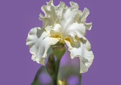 'White Iris,' Tucson Botanical Gardens, Tucson, AZ, 2018