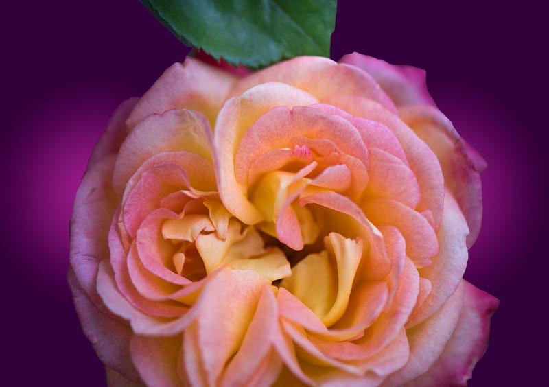 'Love & Peace Rose,' Tucson Botanical Gardens, Tucson, AZ, 2018