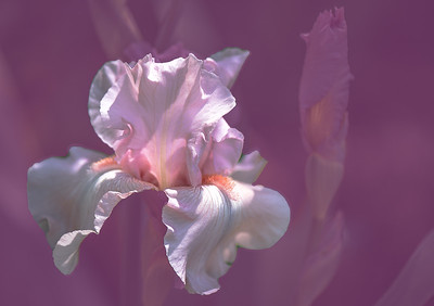 'Beverly Sills Iris,' Tucson Botanical Gardens, Tucson, AZ, 2018