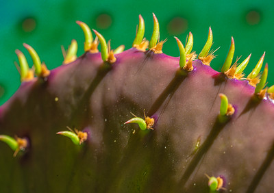 """Prickly Pear Pad,"" Catalina Foothills, Tucson, AZ, 2020."
